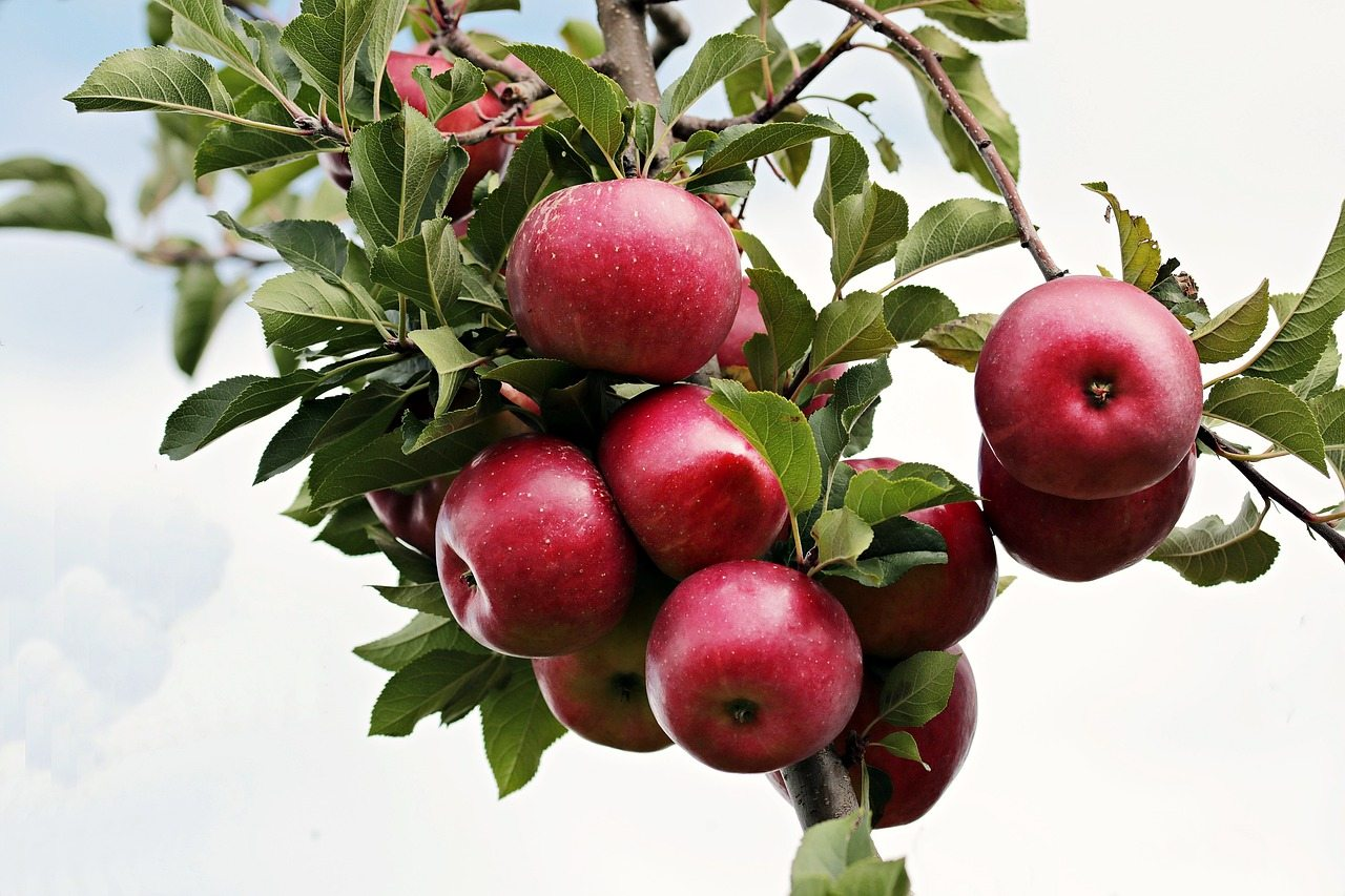 Apple Tree at Hopkins Hill Nursery