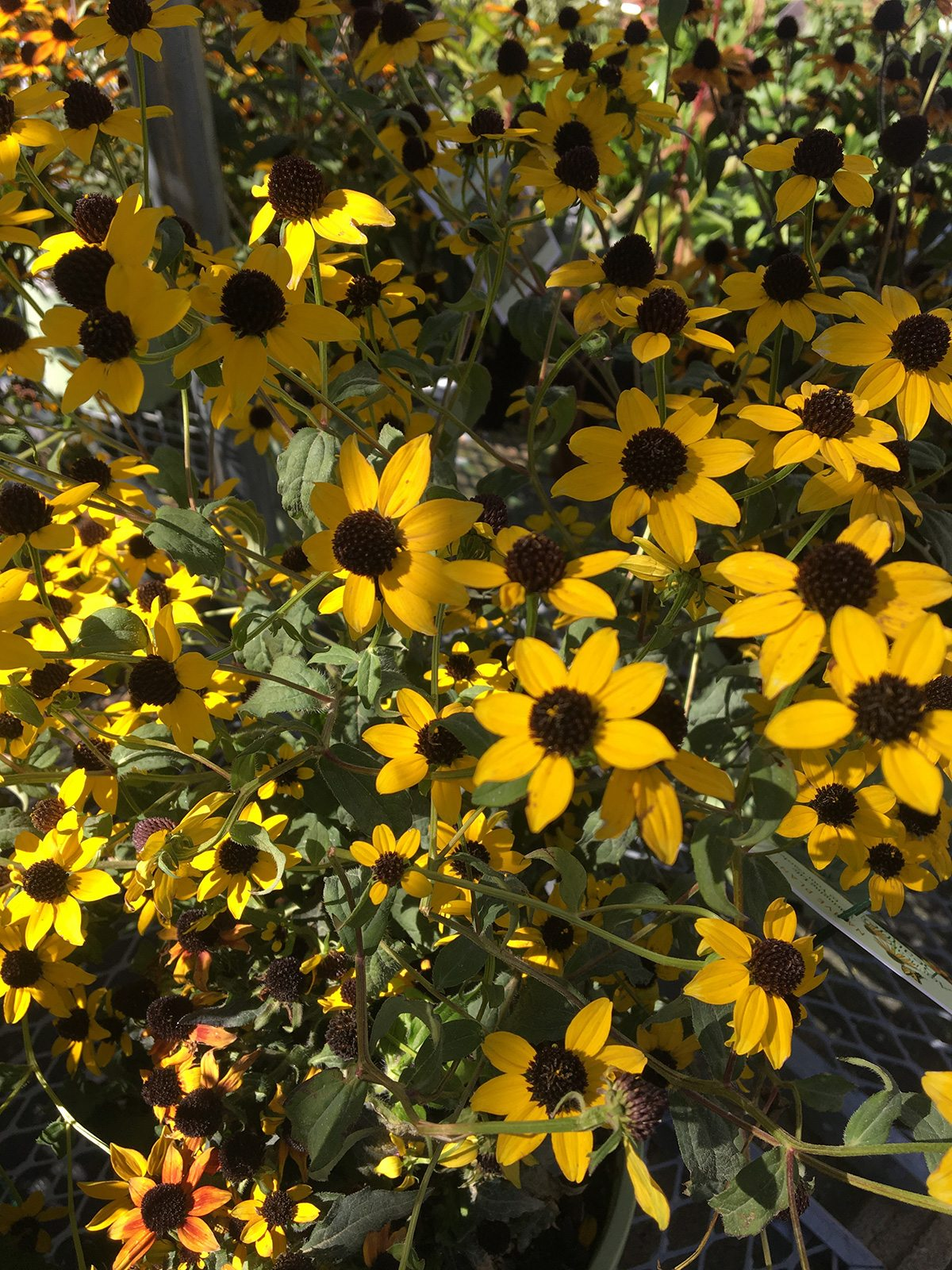Coreopsis at Hopkins Hill Nursery