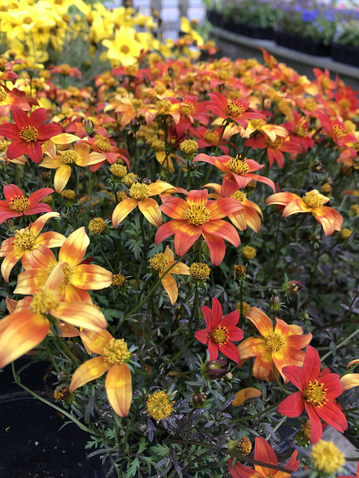 Flowers at Hopkins Hill Nursery