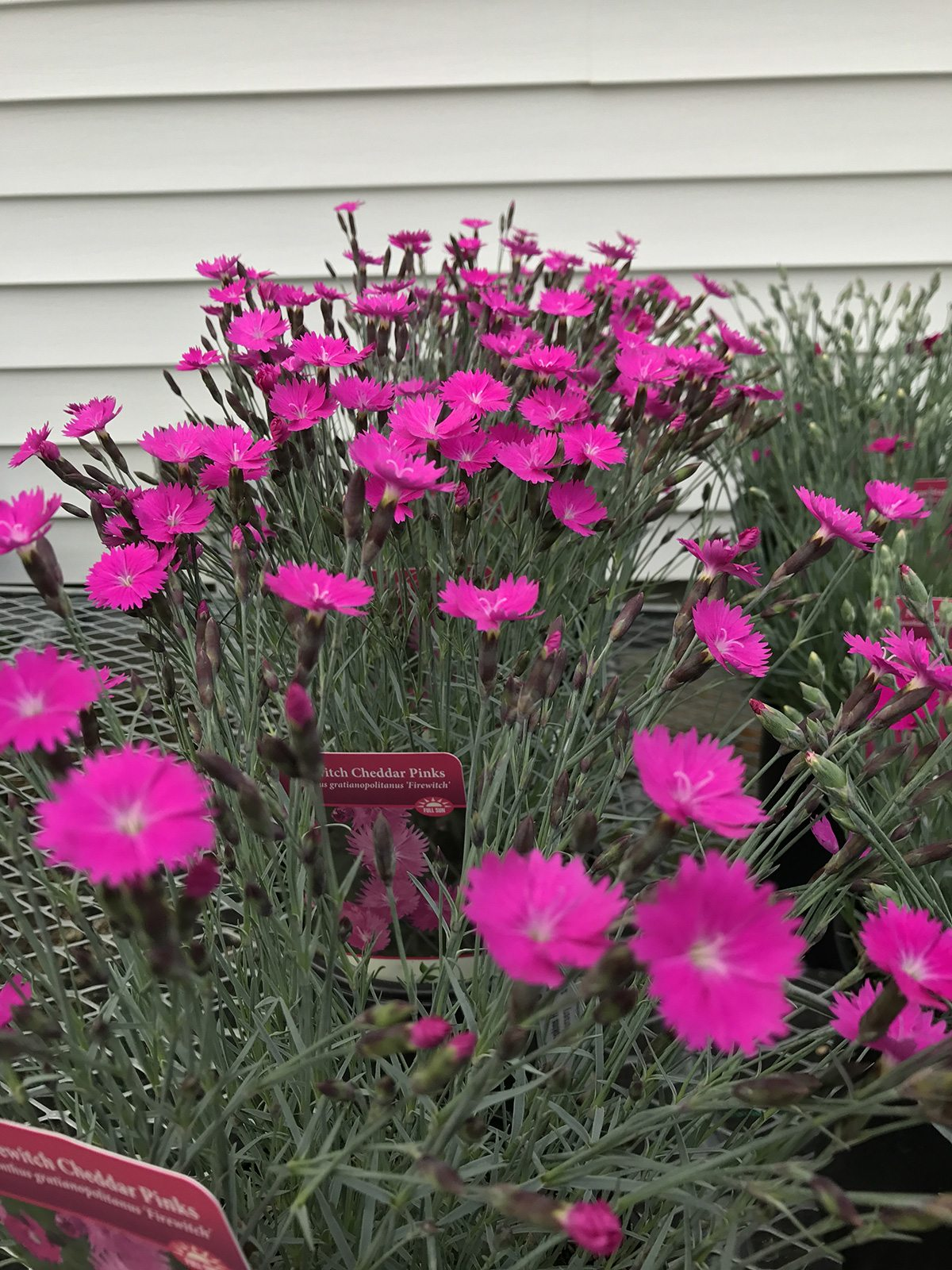 Dianthus at Hopkins Hill Nursery