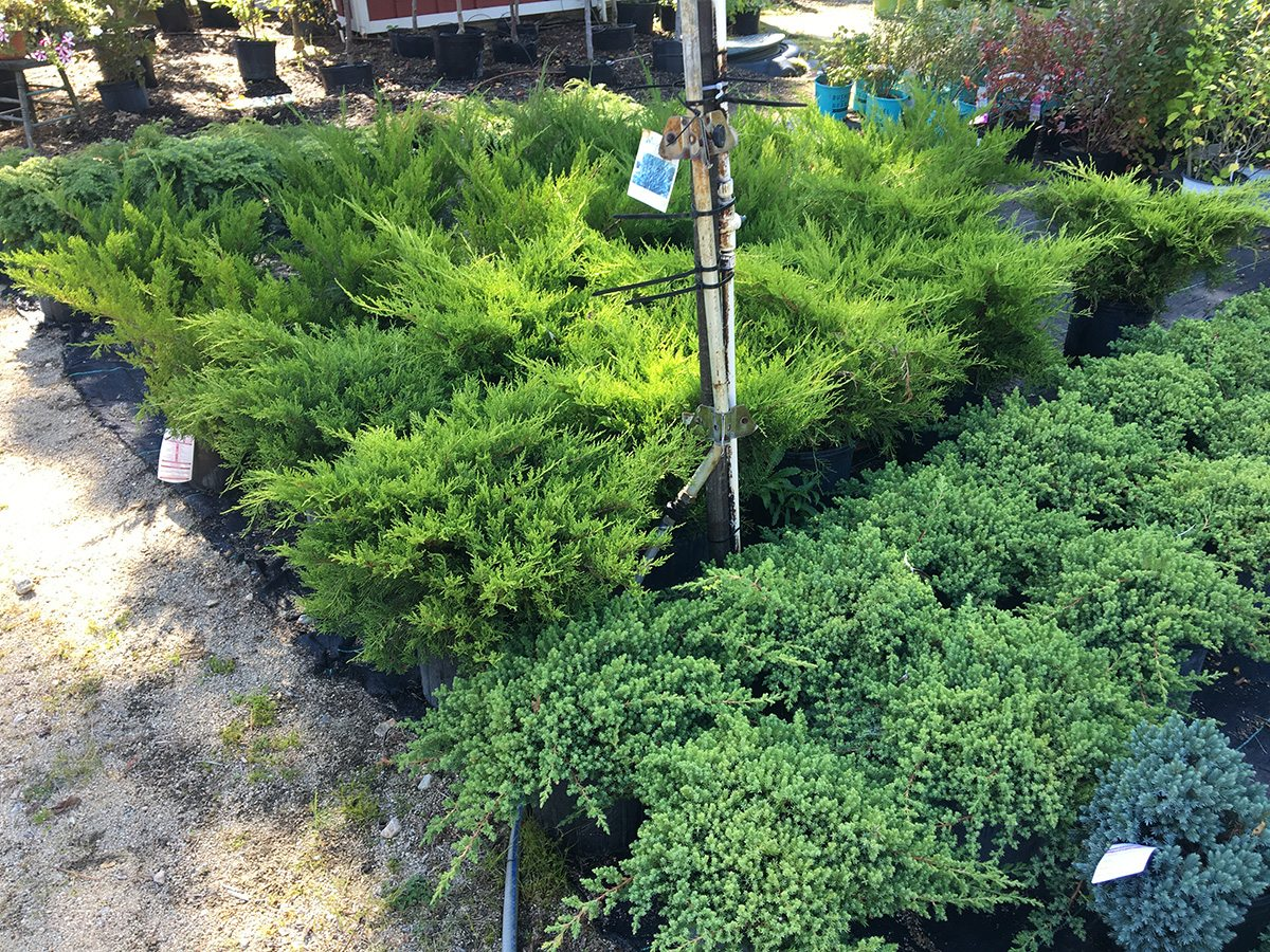 Evergreens at Hopkins Hill Nursery