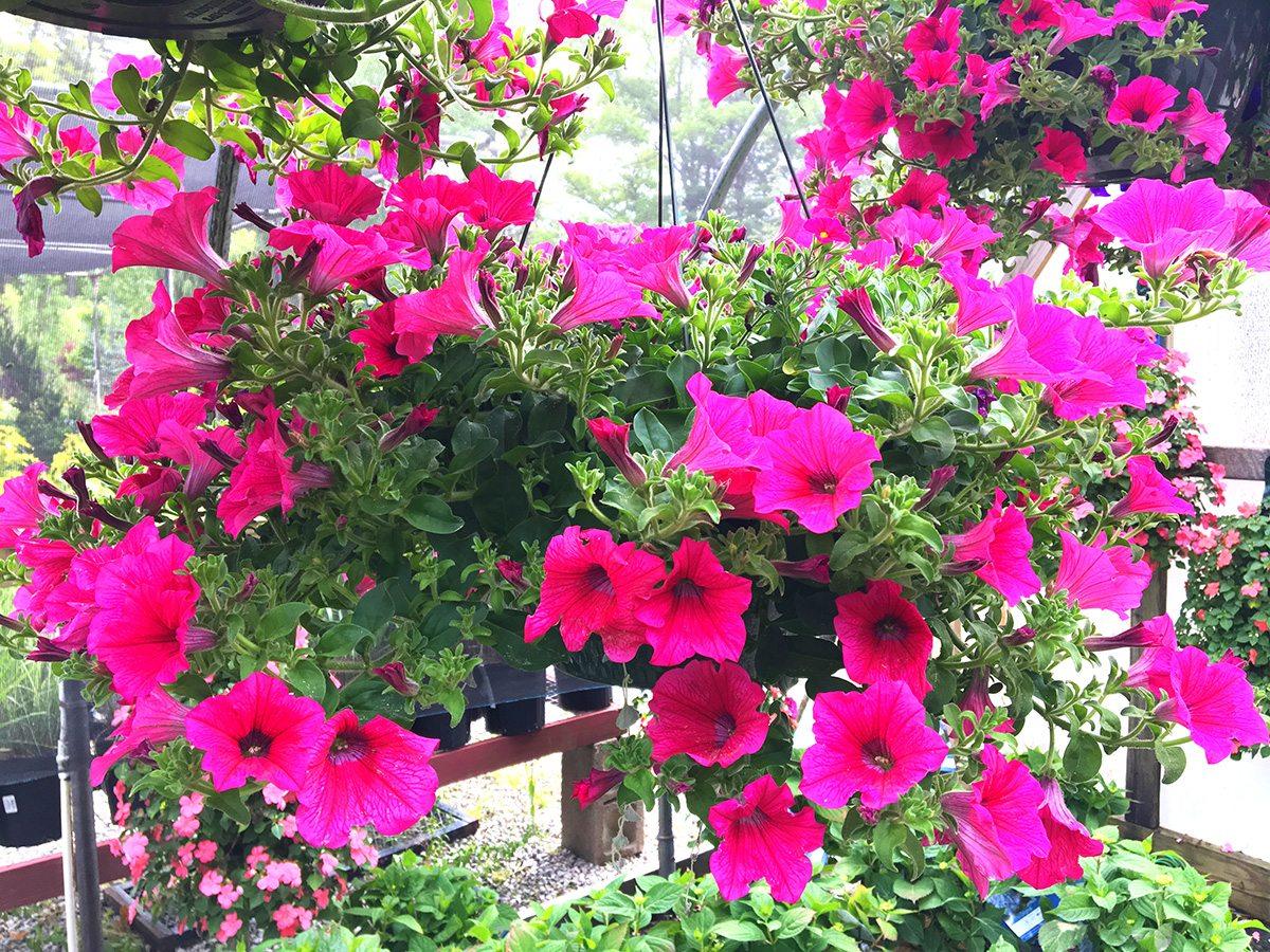 Petunias at Hopkins Hill Nursery