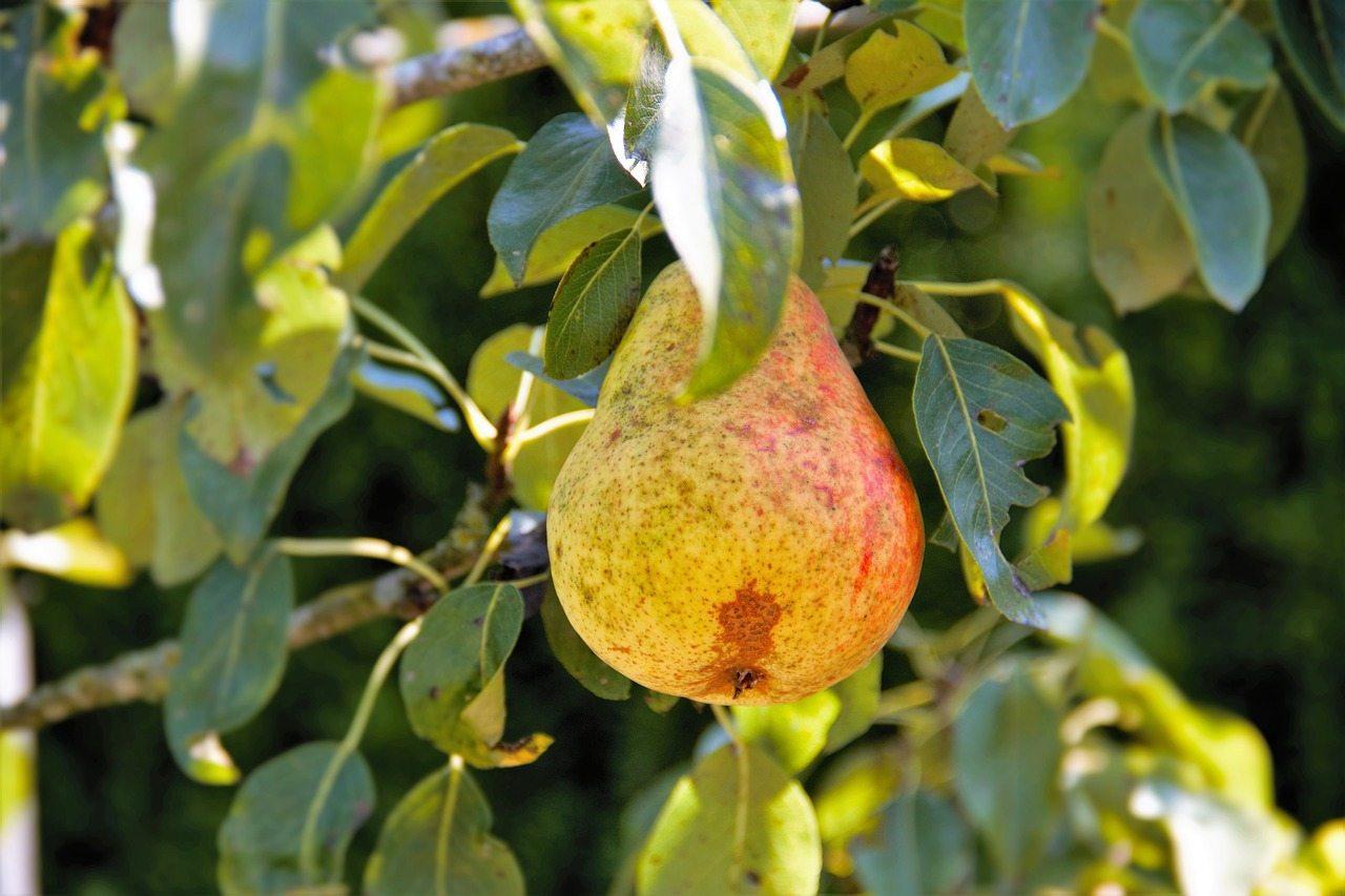 Pear Tree at Hopkins Hill Nursery