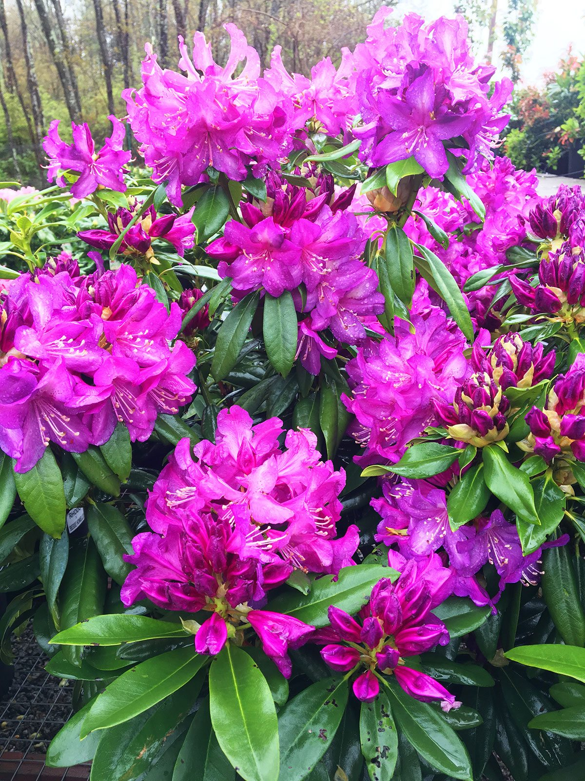 Rhododendron at Hopkins Hill Nursery