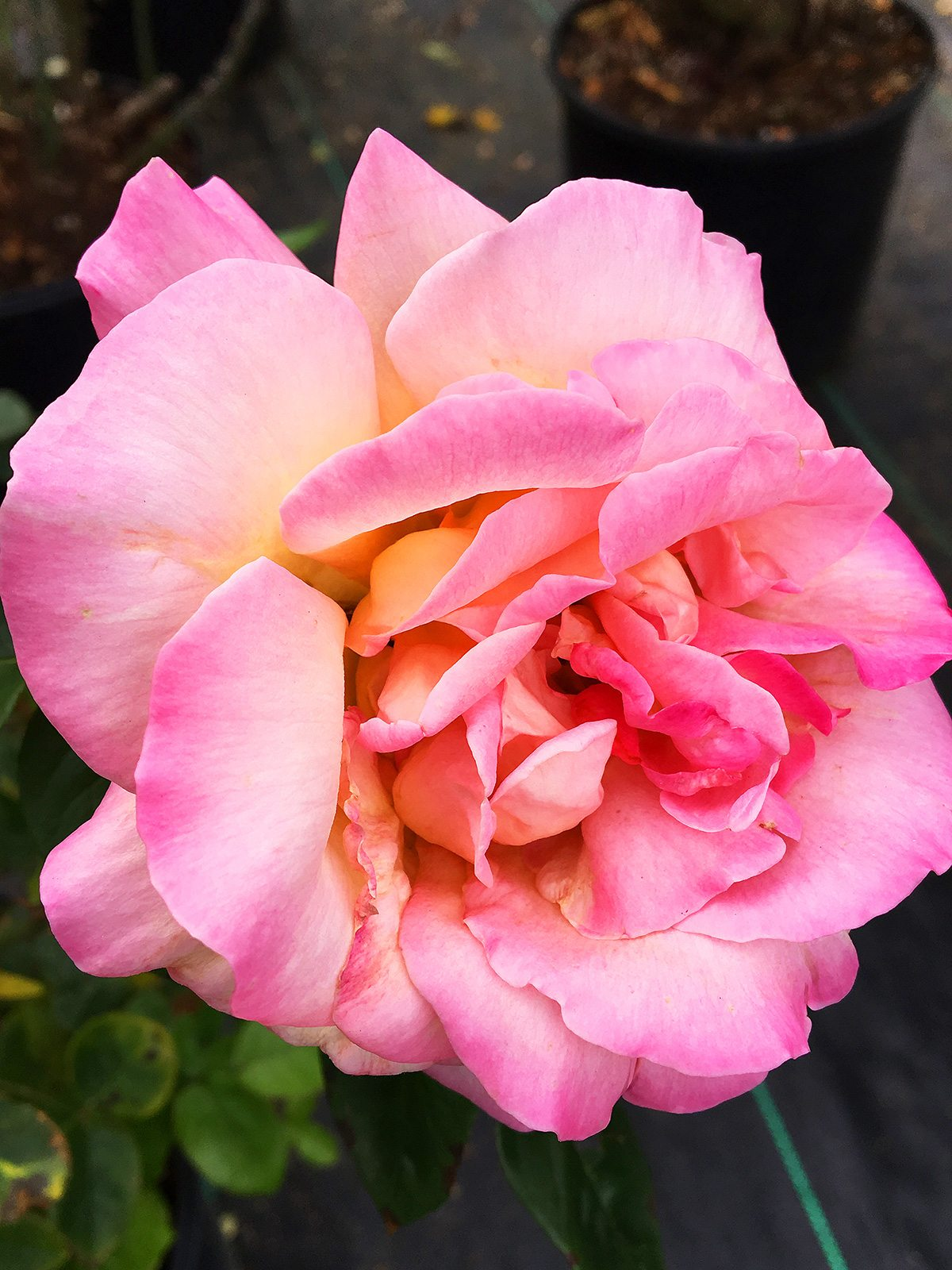 Rose at Hopkins Hill Nursery
