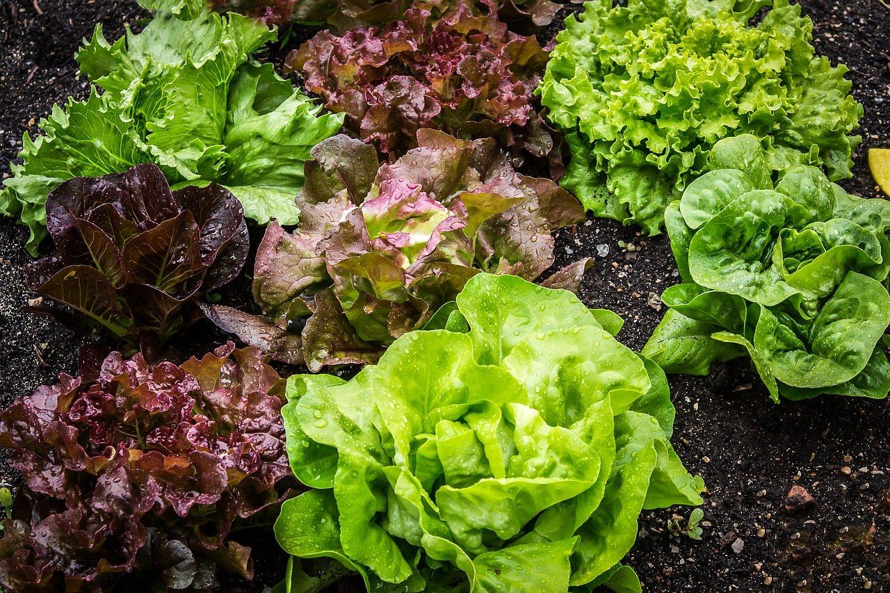 Lettuce at Hopkins Hill Nursery